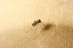 一只蚊子坐衣裳 蚊子要吮血液 免版税图库摄影