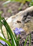 一只蜂在一个开花的庭院里 免版税库存照片