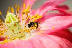 一只蜂在一朵明亮的橙色鸦片花工作 库存照片