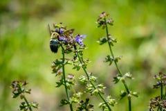 一只蜂在Hagerman全国野生生物保护区,得克萨斯 库存照片