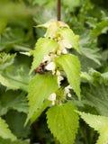 一只蜂的一个美妙和惊人的宏指令与它的被淹没的头的 库存照片