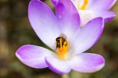 一只蜂的宏指令在一朵紫色番红花的 免版税图库摄影