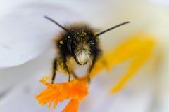一只蜂的宏指令在一朵白色番红花的 库存照片