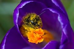 一只蜂的宏指令在一朵紫色番红花的 库存图片