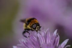 一只蜂的宏指令在一朵紫色花的 免版税库存照片