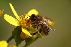 一只蜂的宏指令在花的 免版税图库摄影