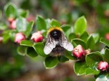 一只蜂的宏指令的关闭在从后面wi采取的庭园花木的 免版税库存照片