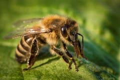 一只蜂的宏观图象从一间蜂房的在叶子 免版税图库摄影