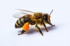 一只蜂的宏观图象从一间蜂房的与花粉 免版税库存照片