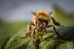 一只蜂的宏观图象从一间蜂房的在叶子 图库摄影