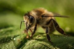 一只蜂的宏观图象从一间蜂房的在叶子 免版税库存图片