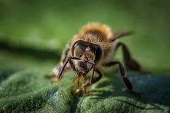 一只蜂的宏观图象从一间蜂房的在叶子 库存图片