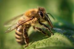 一只蜂的宏观图象从一间蜂房的在叶子 免版税库存照片