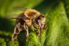 一只蜂的宏观图象从一间蜂房的在叶子 库存照片