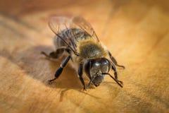 一只蜂的宏观图象从蜂房的 库存图片