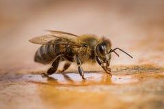 一只蜂的宏观图象从蜂房的 库存照片