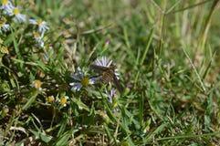 一只蜂的宏观照片在一朵白色野花的 免版税库存照片