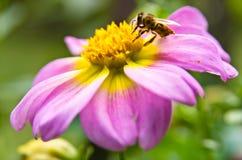 一只蜂的特写镜头在吮花粉的一朵大洋红色花的 免版税库存照片