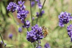 一只蜂的特写镜头在淡紫色花的 图库摄影
