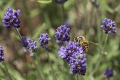 一只蜂的特写镜头在淡紫色花的 库存图片