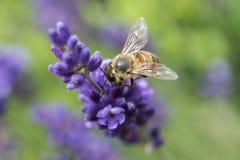 一只蜂的特写镜头在淡紫色花的 库存照片