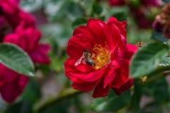 一只蜂的特写镜头在红色和黄色玫瑰里面的 库存照片