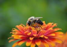 一只蜂的特写镜头在花的 免版税库存图片