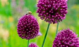 一只蜂的特写镜头在花的 免版税图库摄影