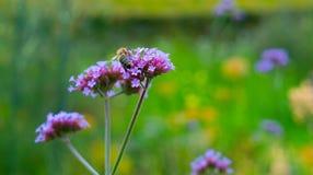 一只蜂的特写镜头在花的 库存图片