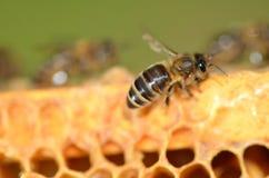 一只蜂的特写镜头在蜂窝的 免版税库存图片
