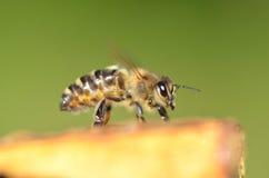 一只蜂的特写镜头在蜂窝的 库存照片