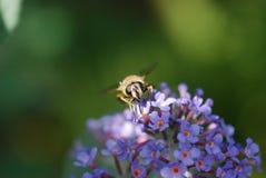 一只蜂的特写镜头在Buddleja的 图库摄影