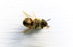 一只蜂的特写镜头有白色背景 免版税库存照片