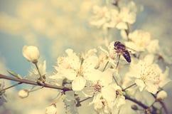 一只蜂的特写镜头照片在樱桃树花的 免版税库存图片