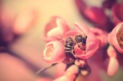 一只蜂的特写镜头照片在红色花的 免版税库存图片