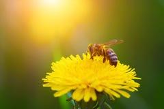 一只蜂的特写镜头画象在一个黄色蒲公英的 免版税库存照片
