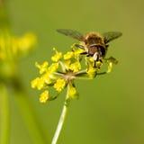 一只蜂的特写镜头画象在授粉开花植物的 库存照片
