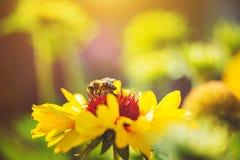 一只蜂的特写镜头画象在的黄色花 图库摄影