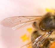 一只蜂的翼在花的 2009朵超级花宏观的夏天 图库摄影