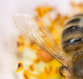 一只蜂的翼在花的 2009朵超级花宏观的夏天 免版税库存图片