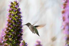一只蜂鸟 图库摄影