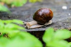 一只蜗牛的特写镜头在一个老树桩的在年轻鲜绿色的叶子中 免版税库存图片
