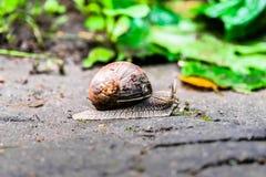 一只蜗牛的特写镜头在一个老树桩的在年轻鲜绿色的叶子中 免版税图库摄影
