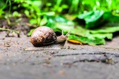 一只蜗牛的特写镜头在一个老树桩的在年轻鲜绿色的叶子中 库存照片