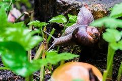 一只蜗牛的特写镜头在一个老树桩的在年轻鲜绿色的叶子中 图库摄影