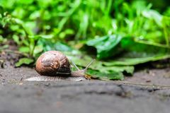 一只蜗牛的特写镜头在一个老树桩的在年轻鲜绿色的叶子中 库存图片