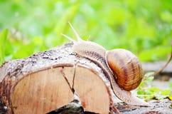 一只蜗牛的特写镜头在森林里 免版税库存照片