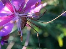 从一只蜘蛛的宏观射击在一朵桃红色花 免版税库存图片