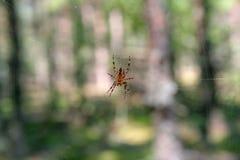 一只蜘蛛的照片在特写镜头的在模糊的森林背景 图库摄影