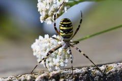一只蜘蛛的美丽的宏观射击在一朵花的在狂放 免版税图库摄影